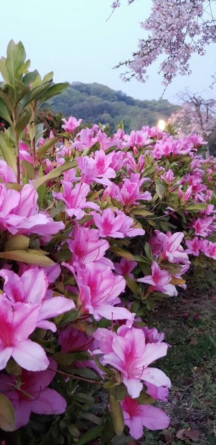 桜とツツジが一緒に咲いてます。人がいないと今年は特に花が綺麗 1