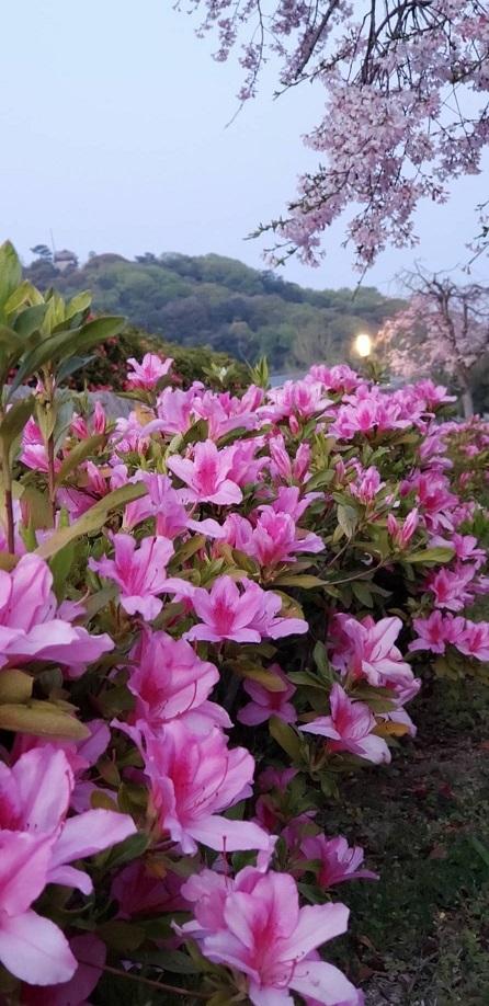 桜とツツジが一緒に咲いてます。人がいないと今年は特に花が綺麗 2