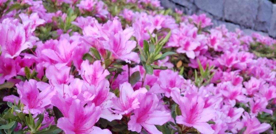 桜とツツジが一緒に咲いてます。人がいないと今年は特に花が綺麗 3