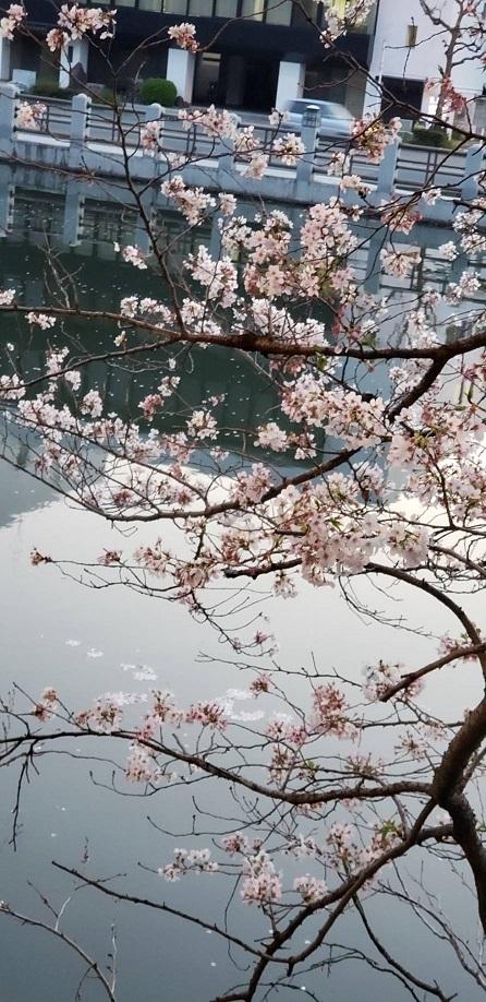 桜とツツジが一緒に咲いてます。人がいないと今年は特に花が綺麗 4