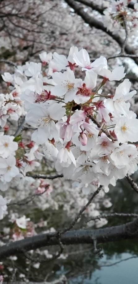 桜とツツジが一緒に咲いてます。人がいないと今年は特に花が綺麗 5