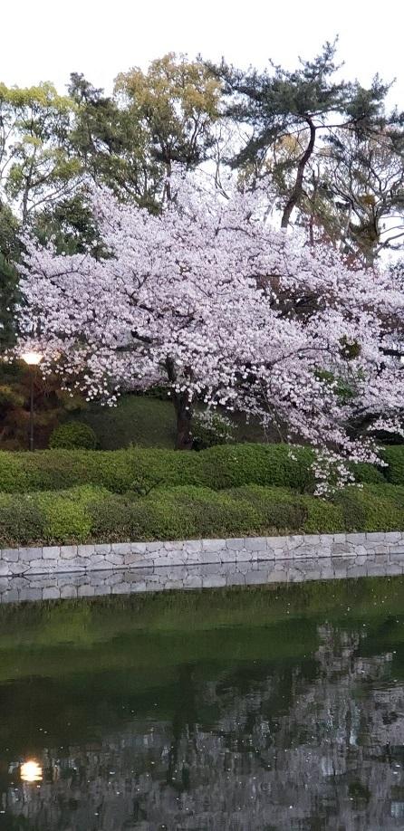 松山城お堀の逆桜 2