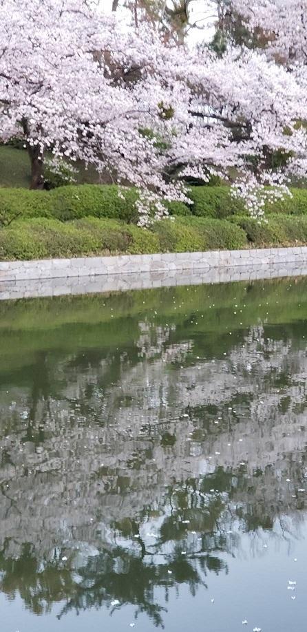 松山城お堀の逆桜 3