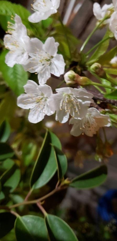 庭のさくらんぼの花 1