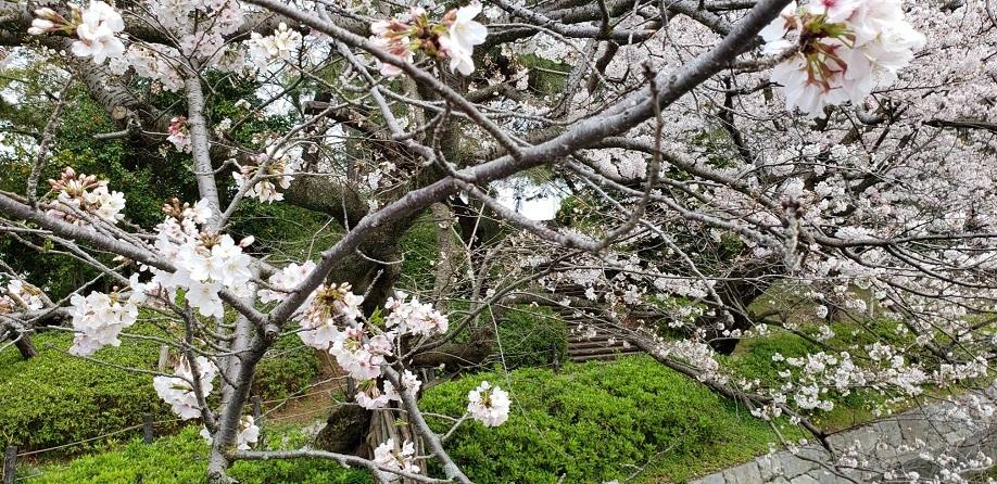 松山城のお堀の桜 1