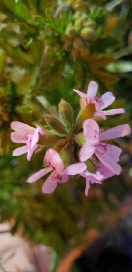 夜の蚊れん草の紫の花