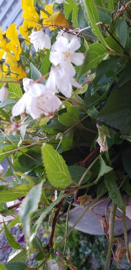 ミーママ家のお花2