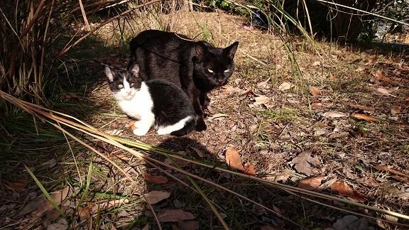 子育て上手な黒猫ママ(カイくんのお母さん❤️)とカイくんの兄弟(=^ェ^=)