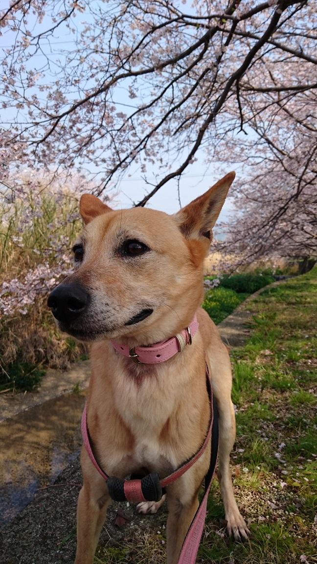 マリリンと一緒に地元の桜並木をお散歩🌸