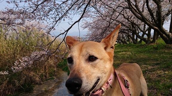 マリリンと一緒に地元の桜並木をお散歩🌸 1