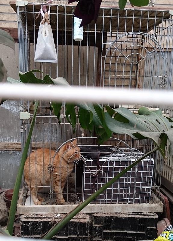 護国神社1護国神社近くの屋外で2段ケージに閉じ込められ、孤独に飼育されている茶トラ猫ちゃん😢身動きがとりづらく可哀想です(TT) (2019年4月29日撮影)