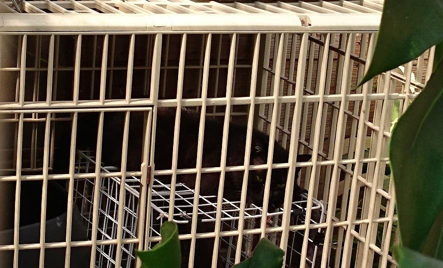 護国神社近くの黒猫ちゃん①この日、松山市の最高気温は28℃💦この囲いの中は熱気がこもり、さらに気温が上昇しています。声をかけても2匹とも数回弱々しく鳴いただけで、暑そうにぐったり横たわっていました(;_;)背景が暗いのでわかりにくいですが、黒猫ちゃんがケージ内の白い網状カゴの上に横たわっています。