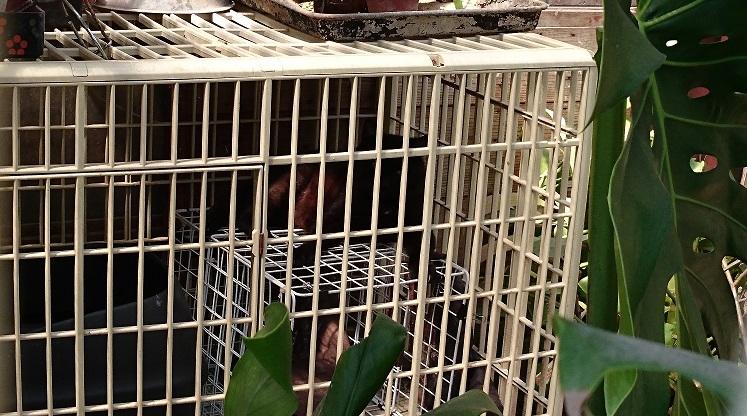 護国神社近くの黒猫ちゃん②この日、松山市の最高気温は28℃💦この囲いの中は熱気がこもり、さらに気温が上昇しています。声をかけても2匹とも数回弱々しく鳴いただけで、暑そうにぐったり横たわっていました(;_;)背景が暗いのでわかりにくいですが、黒猫ちゃんがケージ内の白い網状カゴの上に横たわっています。(2020年6月7日、14時頃撮影)