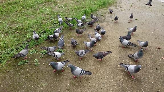 道後公園の鳩