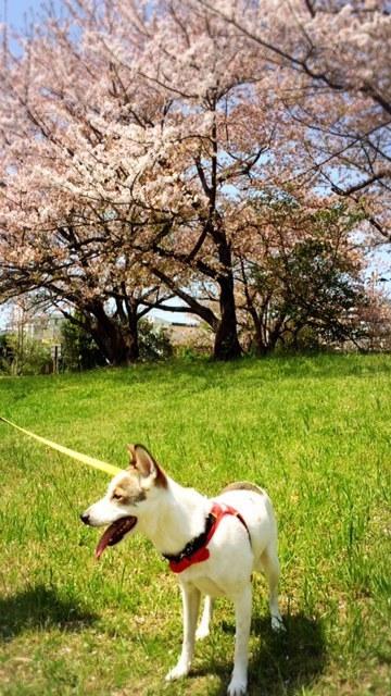 【桜の下で気持ちいい】