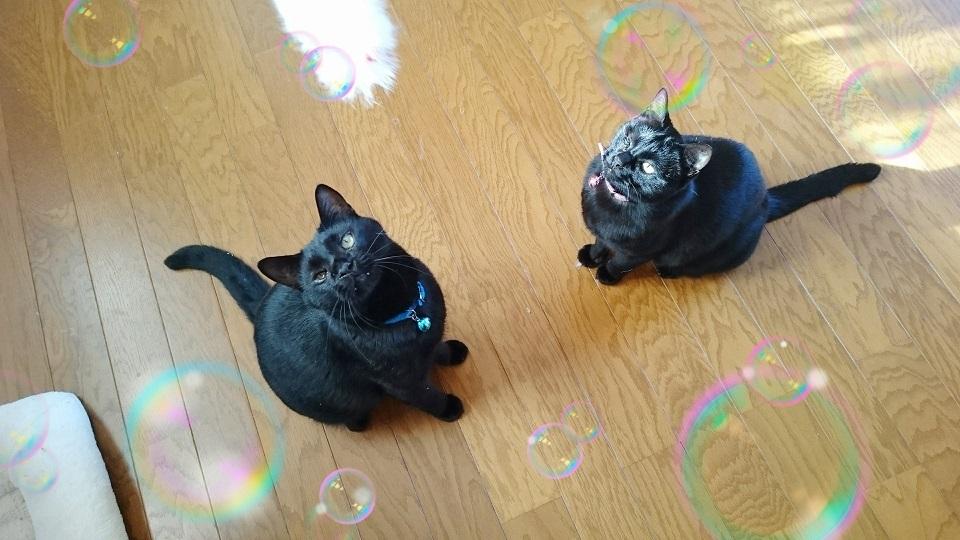 らん丸&カイくん①クリスマスプレゼントの猫じゃらしを狙う㊧カイくん&㊨らん丸✨❤️✨この2匹はイタズラ仲間です