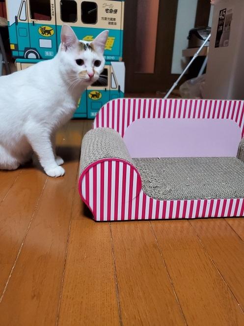 エミちゃん、1三毛猫柄が大きくなったももちゃんです
