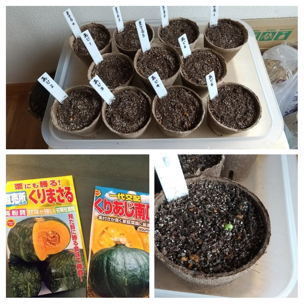 かぼちゃの種まきと芽生え