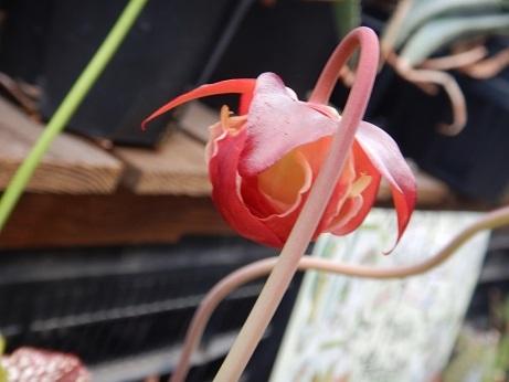 20200703 2食虫サラセ花
