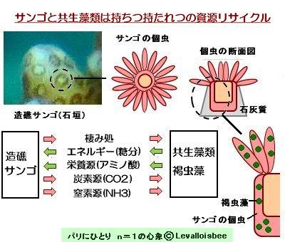 サンゴと共生藻類は持ちつ持たれつの栄養関係