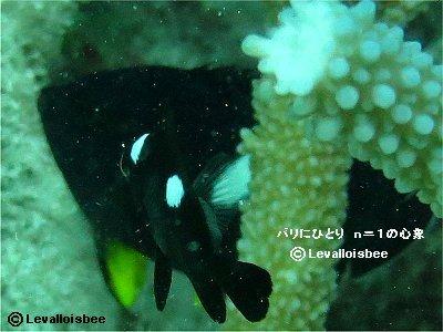 サンゴの迷路を泳ぐミツボシクロスズメダイ