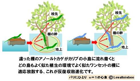 カリブのアノールの反復収斂進化