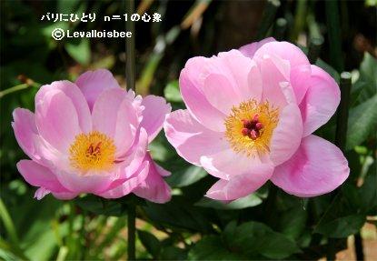 ピンクのシャクヤク姉妹優雅ですREVdownsize