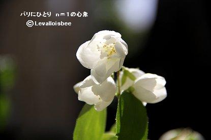 清楚なウツギの白い花downsize