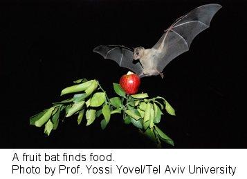 餌を見つけたフルーツコウモリ著者フォト