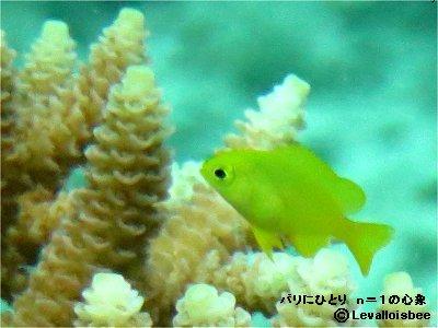 蛍光色の幼魚とサンゴ