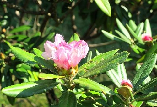 028狂い咲きのシャクナゲ