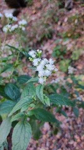白い花20201225