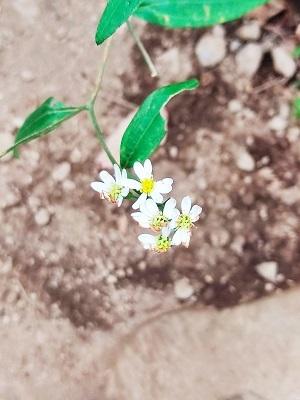 下山白い花20200815