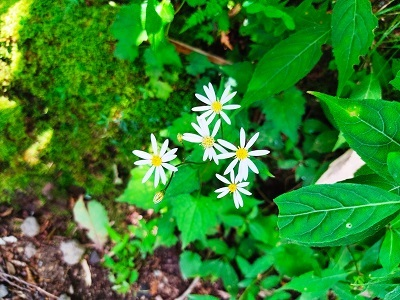 白い花20200815