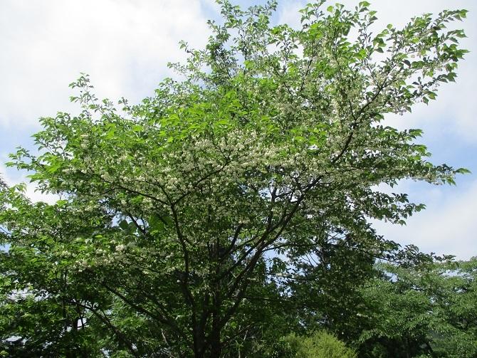 白い花20200528