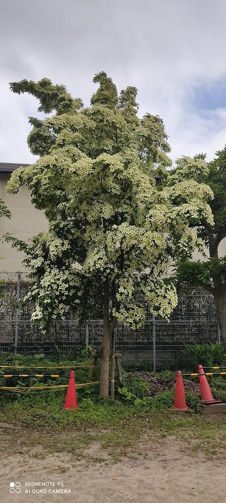 どんぐり公園の白い花20200621