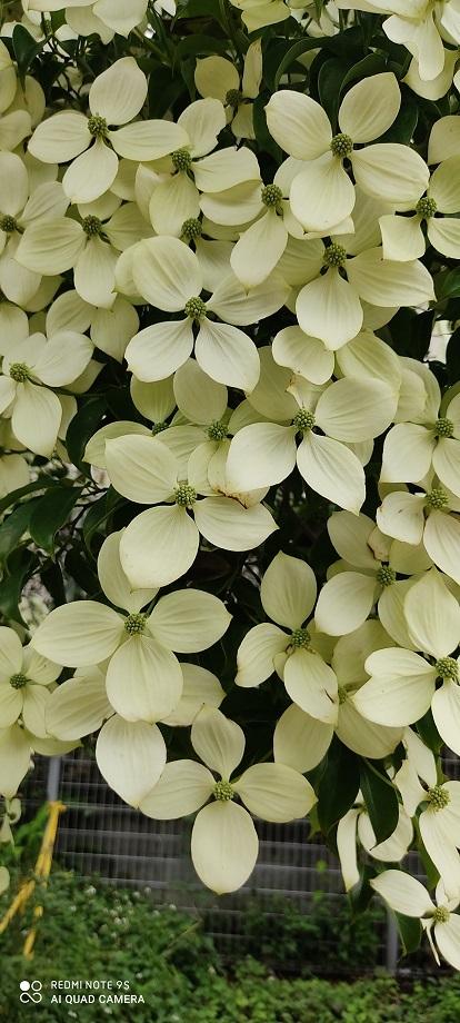 どんぐり公園の白い花あっぷ20200621