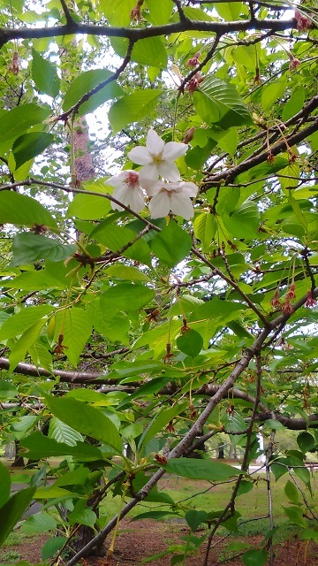 葉桜20200421