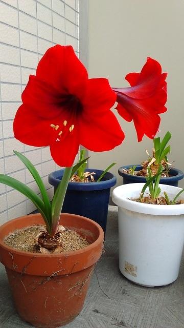 赤いアマリリス20200527