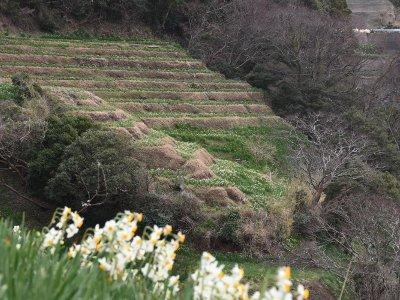 越前海岸の水仙畑上岬の文化的景観