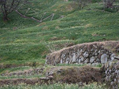 越前海岸の水仙畑下岬の文化的景観