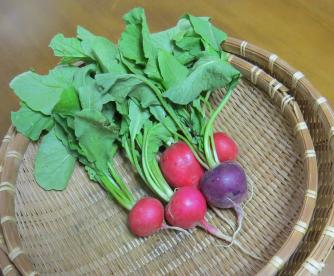 ラデッシュ収穫物