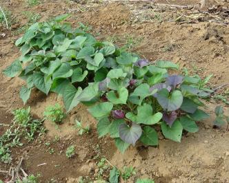 サツマイモ苗作り5月中旬