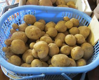 ジャガ収穫物キタアカリ