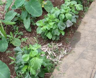 アオシソ菜園6月下旬
