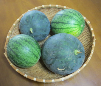 ブラックボンバーと児玉スイカ収穫物