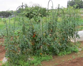 ミニトマト菜園7月下旬