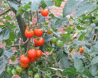 ミニトマトの真っ赤な実