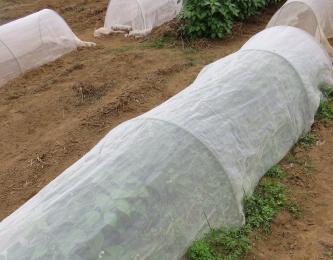 ツル無しインゲン防虫ネット栽培