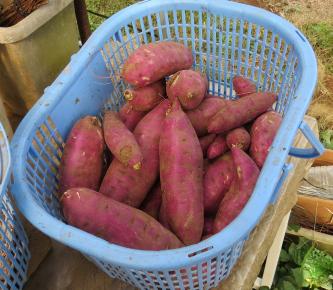 サツマイモ収穫物10月下旬